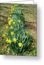 Row Of Daffodils Greeting Card