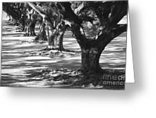 Row Of Oaks - Black And White Greeting Card
