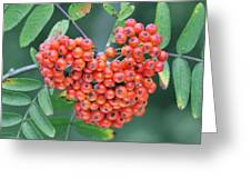 Rowan Berries Greeting Card