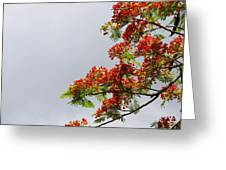 Royal Poinciana Tree Greeting Card