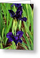 Royal Purple Iris Greeting Card