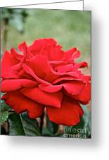 Royal Red Rose Greeting Card