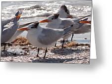 Royal Terns Greeting Card