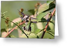 Ruby-throated Hummingbird - An Altercation Greeting Card