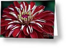 Ruby Zinnia Greeting Card
