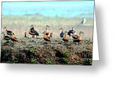 Ruddy Shelducks Greeting Card