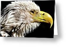 Ruffled Bald Eagle Greeting Card