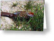 Rusty Capped Sparrow Greeting Card