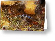 Saddled Blenny, Bonaire, Caribbean Greeting Card