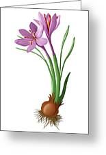 Saffron Flowers And Bulb Greeting Card