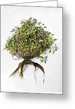 Sage Plant And Roots Greeting Card