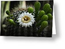 Saguaro Cactus Blooms  Greeting Card