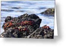 Sally Lightfoot Crabs Greeting Card