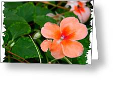 Salmon Impatiens And Dewdrops Greeting Card