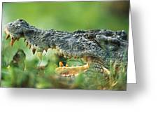 Saltwater Crocodile Crocodylus Porosus Greeting Card by Cyril Ruoso