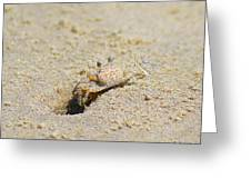 Sand Crab Digging His Hole Greeting Card