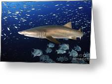 Sand Tiger Shark Swimming In Blue Water Greeting Card
