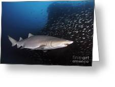 Sand Tiger Shark Swims By The Wreck Greeting Card