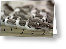 Sanderlings Try To Keep Warm At Corporation Beach In Dennis On C Greeting Card
