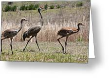 Sandhill Parade Greeting Card