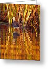 Sandpiper Wading For Food, Yukon Greeting Card