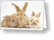 Sandy Rabbit And Babies Greeting Card