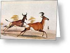 Sassaby And Hartebeest, Greeting Card