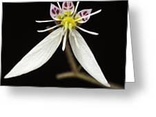 Saxifraga Greeting Card