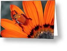 Scarab Beetle On A Guzmania Flower Greeting Card
