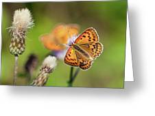 Scarce Copper Butterfly Greeting Card