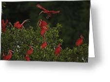 Scarlet Ibises Roost In A Red Mangrove Greeting Card