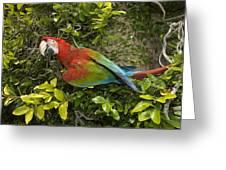 Scarlet Macaw Ara Macao Adult Perching Greeting Card