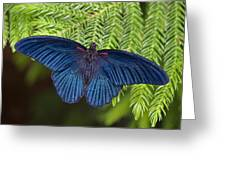 Scarlet Swallowtail Greeting Card by Joann Vitali