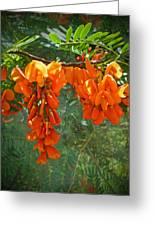 Scarlet Wisteria Tree - Sesbania Punicea Greeting Card