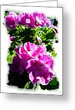 Scented Geraniums Greeting Card
