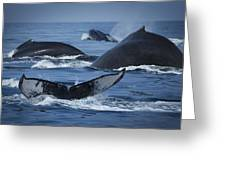 School Of Humpback Whales Greeting Card
