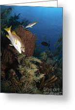 Schoolmaster Snapper, Belize Greeting Card