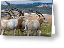 Scimitar-horned Oryx Greeting Card