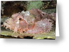 Scorpionfish, Indonesia Greeting Card
