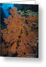 Sea Fan, Fiji Greeting Card