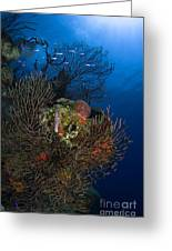 Sea Fan Seascape, Belize Greeting Card