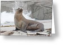 Sea Lion Monterey Greeting Card