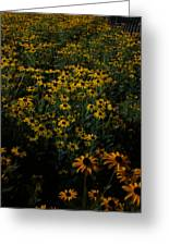 Sea Of Black-eyed Susans Greeting Card