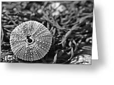 Sea Urchin On Seaweed Greeting Card by David Rucker