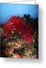 Sea Whips And Soft Coral, Fiji Greeting Card
