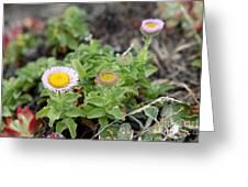 Seaside Fleabane Flowers Greeting Card