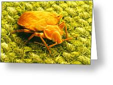 Sem Of A Bed Bug Greeting Card