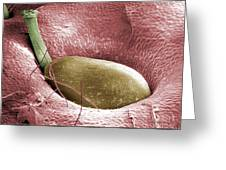 Sem Of A Strawberry Seed Greeting Card