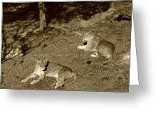 Sepia Lionesses Greeting Card