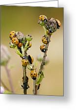 Seven-spot Ladybirds Eating Aphids Greeting Card
